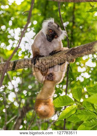 Lemur in a tree in the wild - Nosy Be Island Madagascar ** Note: Visible grain at 100%, best at smaller sizes