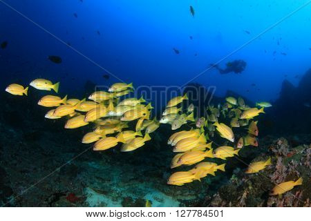 Coral reef, school snappers fish, and scuba diver underwater in ocean