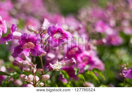 Pink Trumpet Vine Or Pododranea Ricasoliana