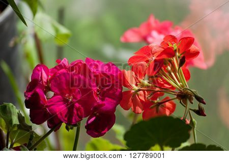 Geraniums in the beautiful garden, filmed in close-up ** Note: Shallow depth of field
