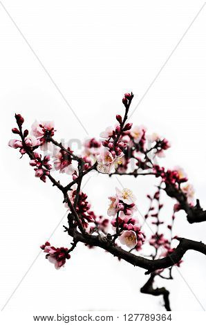 Blossoming pink Japanese plum flowers isolated on white background ** Note: Shallow depth of field