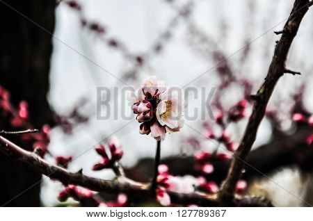 Blossoming pink Japanese plum flowers in February ** Note: Shallow depth of field