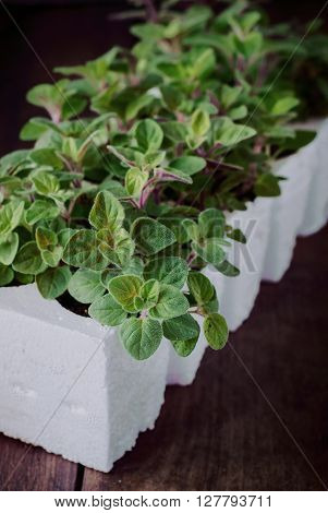 Still Life of Fresh Plant of Oregano Herb. Oregano Seedling in Seedling Cups. Close up.