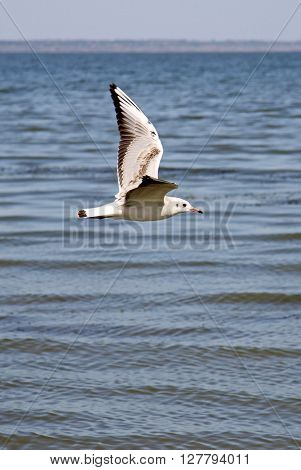 Seagull Flying Over Taganrog Bay Of Sea Of Azov, Russia