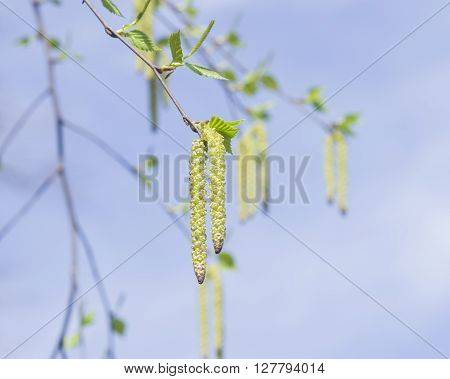 Birch tree catkins and young leaves on branch with bokeh background macro selective focus shallow DOF