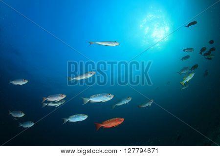 Red Bigeyes fish