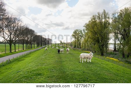 Backlit image of a seemingly endless long embankment in the spring season. In the foreground are some sheep with their woolly lambs. The rapeseed is blooming yellow already.