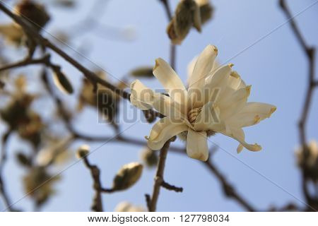 Beautiful image of large white flower on tree branch