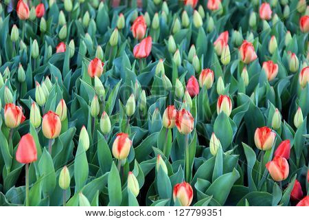 Gorgeous bed of colorful tulips is a warm and welcoming sign of springtime
