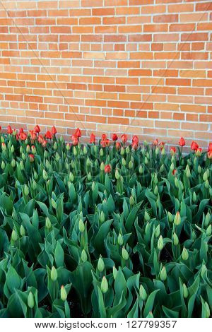 Beautiful bed of red tulips against old brick wall, some fully open to sunny weather, others just beginning to bud.
