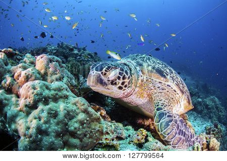 Green Sea Turtle sleeping on the sea bed amongst the coral.