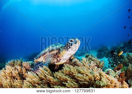 Green Sea Turtle on the sea bed amongst the soft coral.