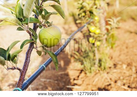 Green Apple On Its Shaft With Irrigation Blcak Pipe