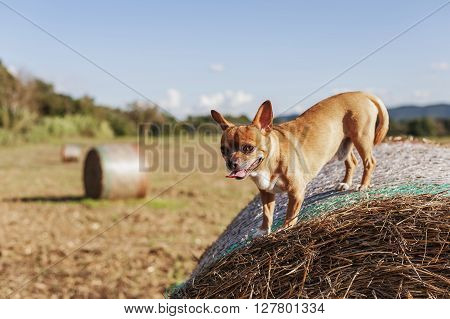 Puppy On Hay Bale And Natural Background