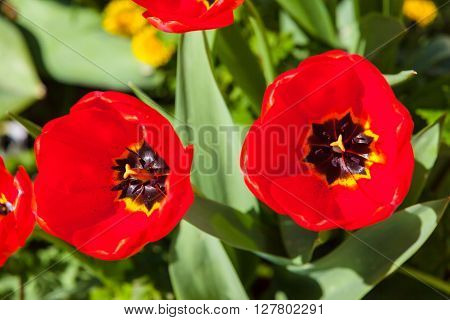 Close up view of red tulip woth gree leaf in background copy space available