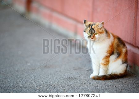 Mixed Breed White And Red Cat Sitting Near The Wall