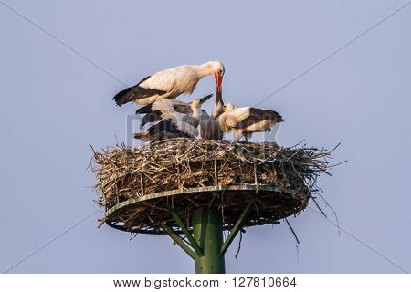 Three hungry young white storks in the nest
