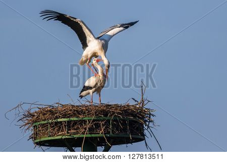 A couple of white storks by paiting ** Note: Soft Focus at 100%, best at smaller sizes