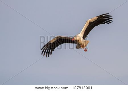 A white stork is in the flight ** Note: Soft Focus at 100%, best at smaller sizes