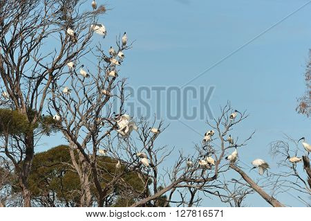 Australian white ibis are preying on the tree
