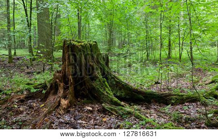 Partly Declined Stump In Front Of Deciduous Trees