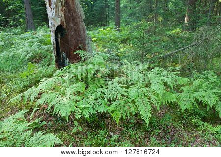 Eagle Ferns And Old Spruce Tree Stump In Summertime Forest
