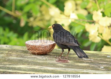 male blackbird feeding in the garden from a coconut feeder