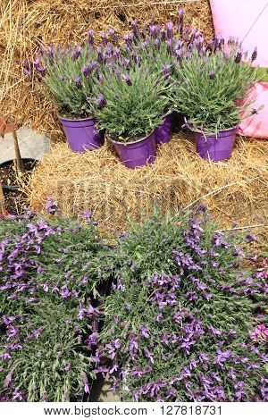 Some pots with lavender flowers for sale