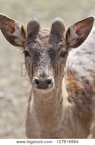 The cute brownish roe deer close up portrait