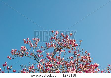 Spring Branches of a Blossoming Magnolia Tree with Pink Flowers and Buds on a Background of Blue Sky