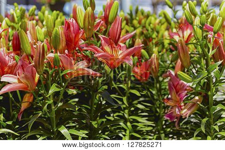 Pink Asiatic lilies in a flower garden with shallow depth of field