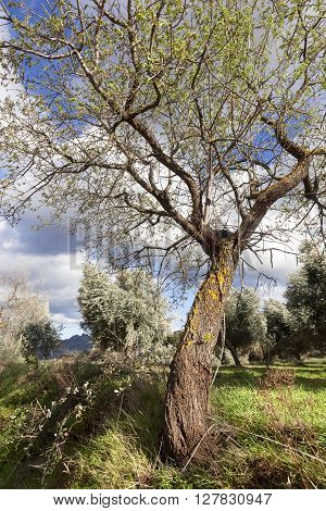 Almond Tree in Matarranya. Teruel province. Spain
