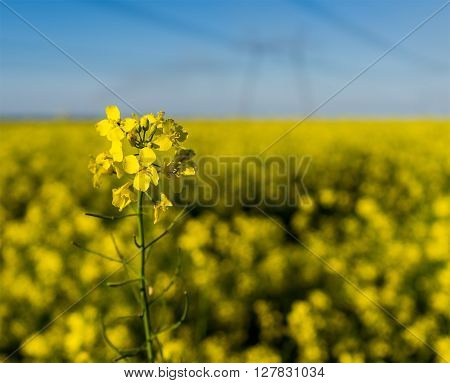 GMO rapeseed plant on a huge field for production of biodiesel close-up