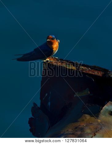 welcome swallow is perched on the iron