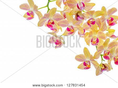 Beautiful Blooming Twig Of Orange Striped Orchid, Phalaenopsis Is Isolated On White Background, Clos