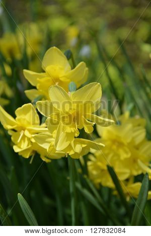 Yellow daffodils (jonquil), blooming spring, 2016 in France