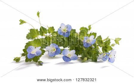 Forget-me-not (Myosotis) Flowers isolated on White Background