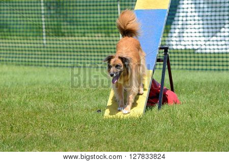 Pyrenean Shepherd on a Teeter-Totter at Dog Agility Trial