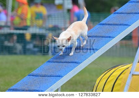 Short-Haired Chihuahua Walking on a Dog Walk ar an Agility Trial