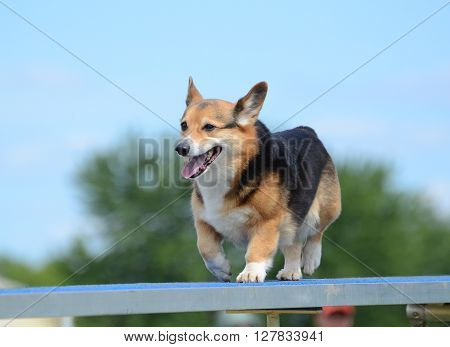 Pembroke Welsh Corgi Running on a Dog Walk at an Agility Trial