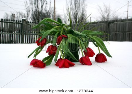 Too Cold For Tulips
