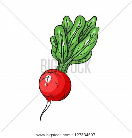 Vector radish illustration. Radish isolated on white background. Vector sketch hand drawn - stock vector