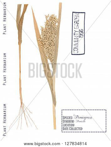 Herbarium of pressed parts panicum plants. Leaves stem roots and spikelets isolated on white