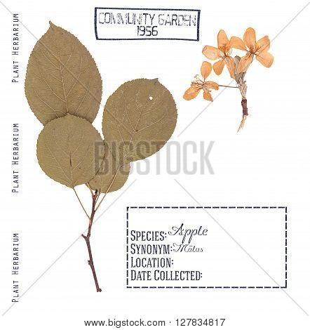Herbarium of pressed parts of apple tree. Branch leaves and flowers isolated on white.