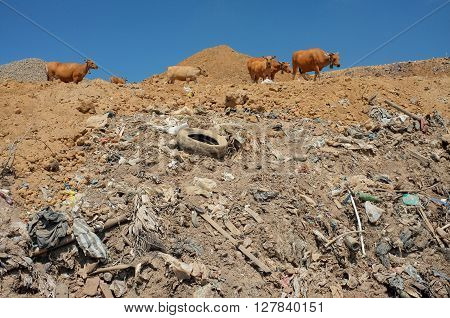 A herd of cows graze on toxic garbage and contaminated land at a highly polluted landfill site in Bali Indonesia.