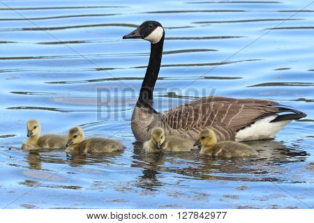 A mother goose with her four goslings swimming together on a pond.