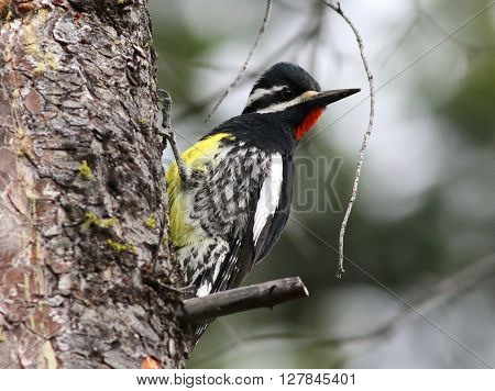 A Male Williamson's Sapsucker on a Pine Tree
