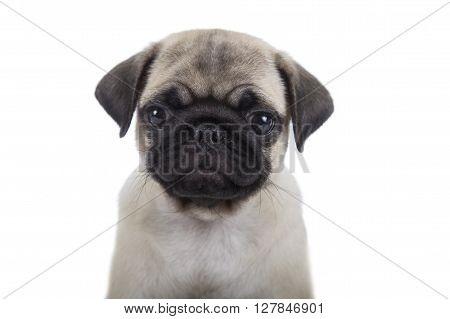 Small Puppy Pug