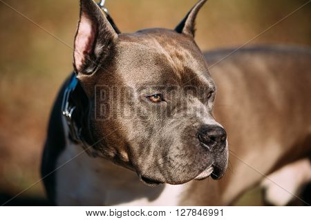 Close Up Of Beautiful Dog American Staffordshire Terrier Outdoor