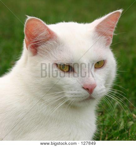 Weiße Katze verrückt